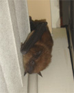 Bat hanging on Curtain.