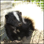 A young skunk caught, and ready for re-location.